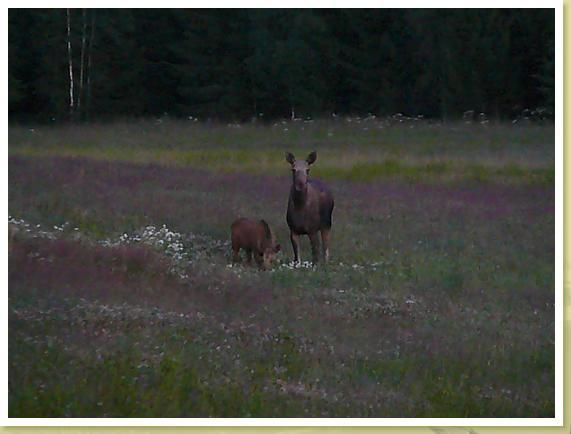 Elchkalb mit Mutter in Dalsland